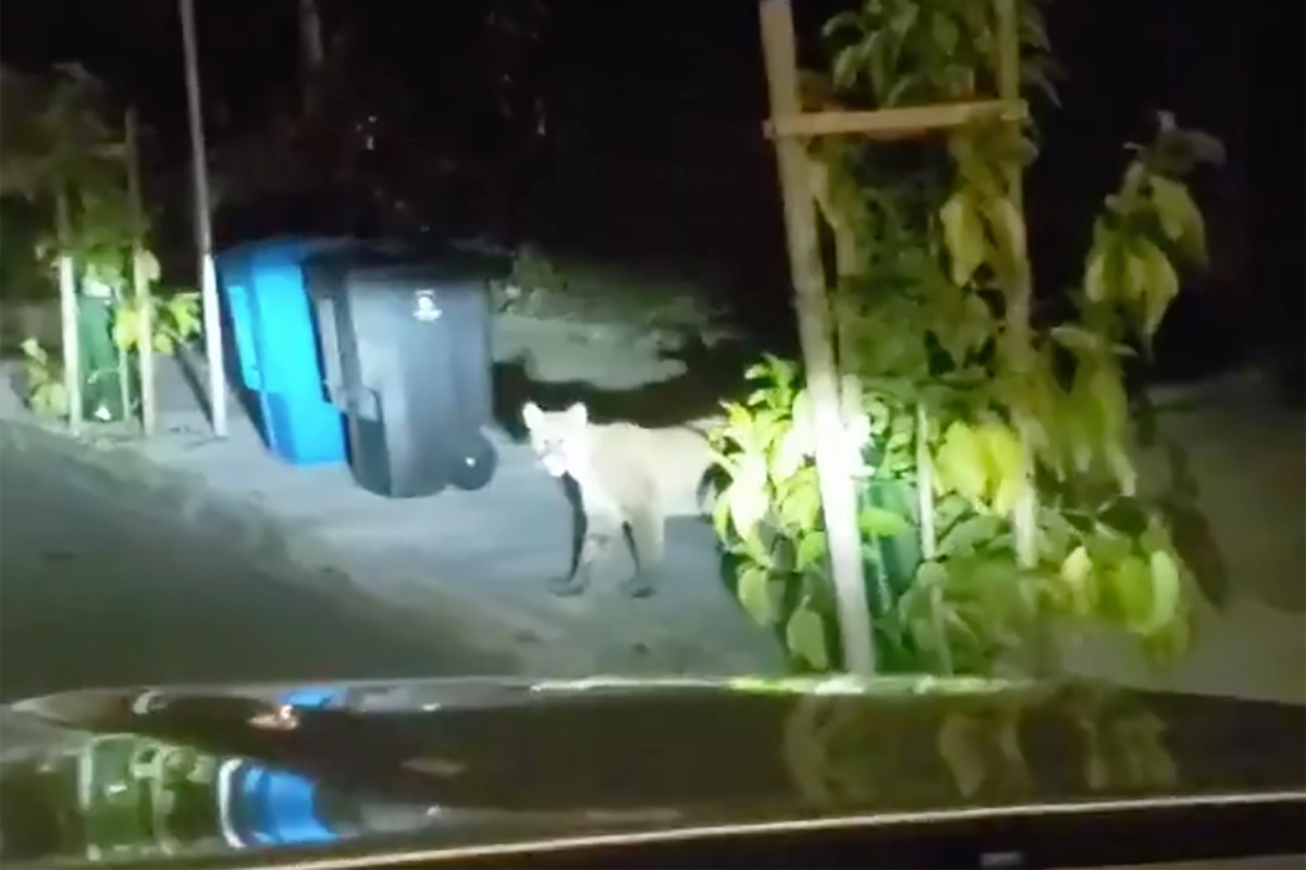 Berglöwe hat möglicherweise Beuteltiere im San Francisco Zoo getötet