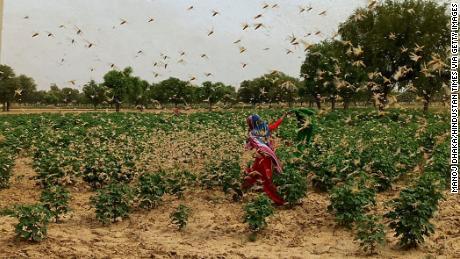Neu-Delhi in höchster Alarmbereitschaft, nachdem Wüstenheuschrecken durch das benachbarte Gurgaon schwärmen