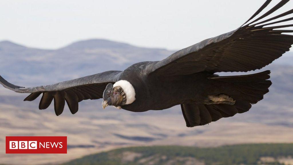 Andenkondorvögel schlagen nur 1% der Zeit mit den Flügeln