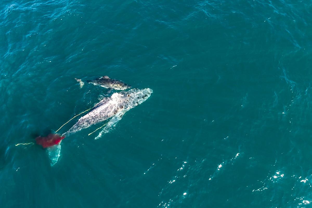 Der Hai 'Helen' ertrinkt den Wal bei einem ersten bekannten Angriff dieser Art