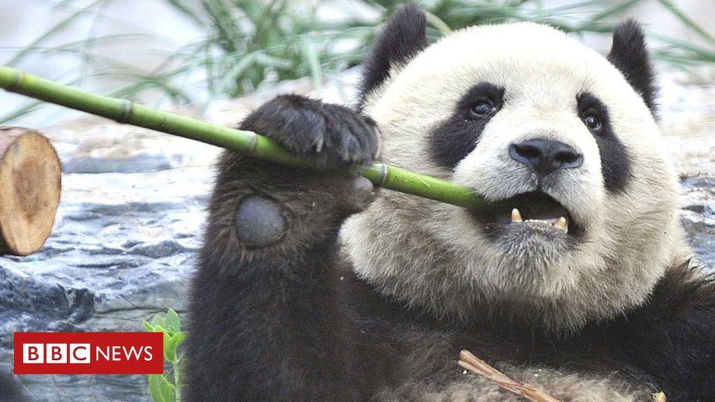 Naturschutzdilemma über die Rettung des Riesenpandas
